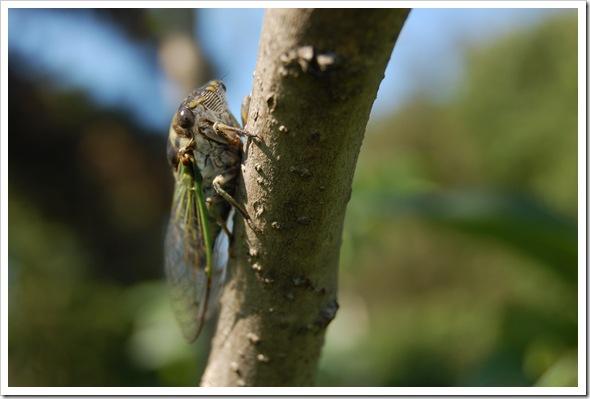 cicada (13)