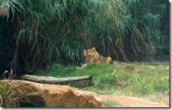 Lions, Taronga Zoo