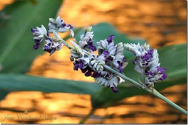 Sage_Bloom2
