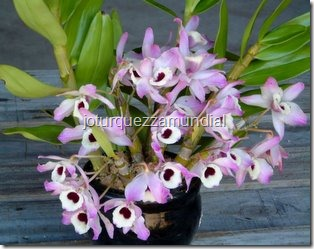 Orquídeias - ganhei de Nilza