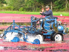 Cranberry Harvest Gerts bog 2011Richard