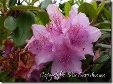 Rhododendron i slotsparken Gram