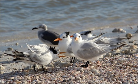 terns on Honeymoon Island