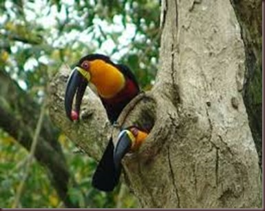 Amazing Pictures of Animals photo Nature exotic funny incredibel Zoo, Ramphastidae, Toucan, Bird, Alex (12)