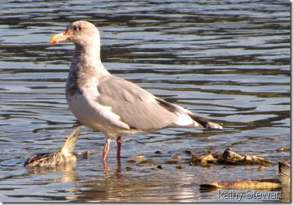 Glaucous-wing/Western hybrid
