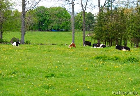8. cows-kab