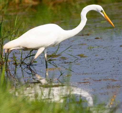 8-16-09, fish hatchery, migrating Great Egret