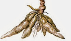 Tapioca root