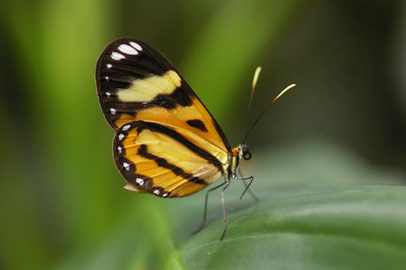 Ithomiinae : Hypothyris sp. Jardim botanico. Rio de Janeiro, 31 janvier 2012. Photo : J.-M. Gayman