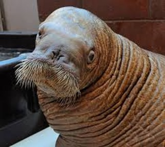 Amazing Pictures of Animals, photo, Nature, exotic, funny, incredibel, Zoo, Walrus,Odobenus rosmarus, Alex (12)