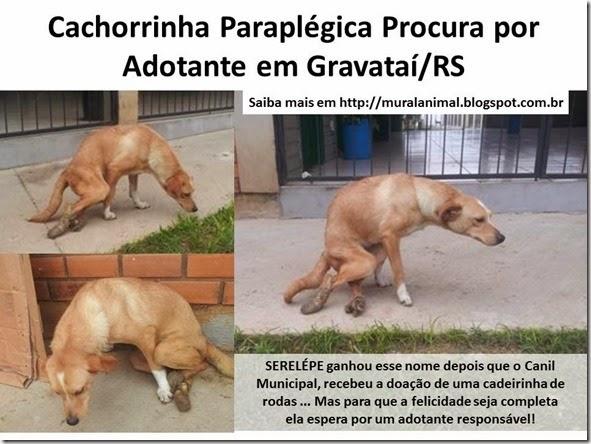 Cachorrinha Paraplégica Procura por Adotante em Gravataí