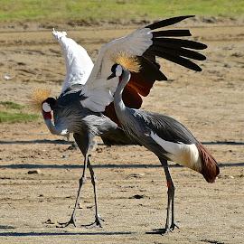 West African Crane Mating Dance 2 by Steven Aicinena - Animals Birds ( west african crane, mating dance )