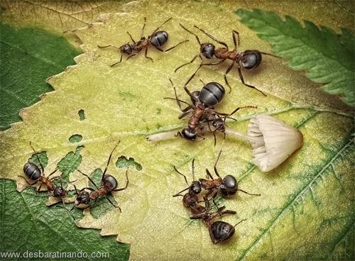 formigas inacreditaveis incriveis desbaratinando  (10)