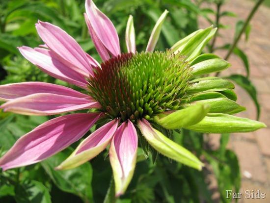 Weird Echinacea (2)