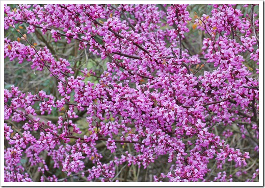 120313_Cercis-occidentalis_20