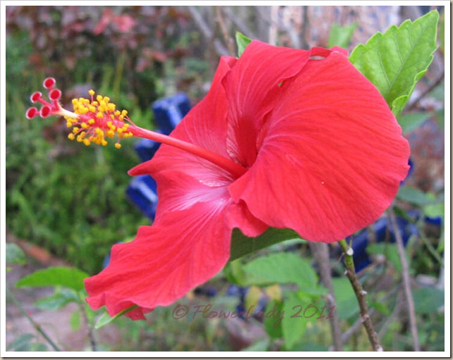 12-16-hibiscus