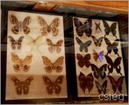 Butterflies  (1)k