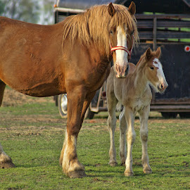 Family by Luanne Bullard Everden - Animals Horses ( babies, animals, horses, farms, foal )