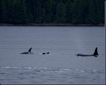 Orcas Bella Bella BC