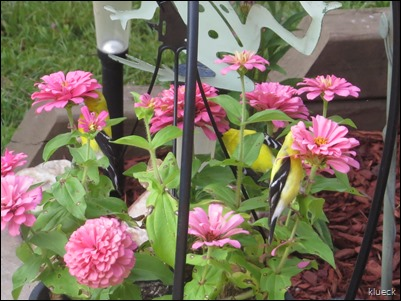 goldfinches eating my zinnias