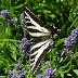 Swallowtail.dscn4024