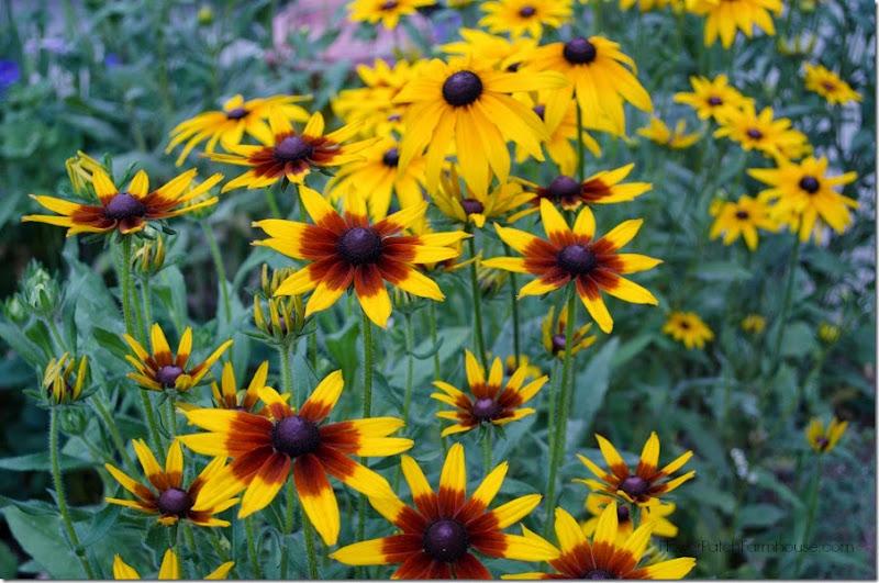 Black Eyed Susan Mix FlowerPatchFarmhouse.com.com (49 of 51)