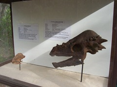 2008.09.10-027 crânes de stegoceras et pachycephalosaure