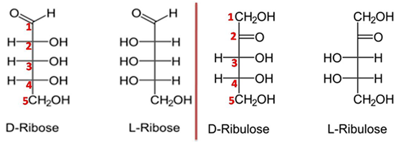 Ribose and Ribulose