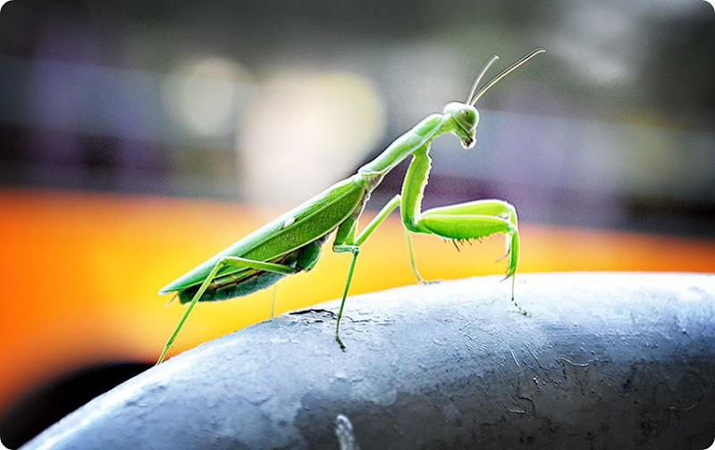 Praying-mantis1