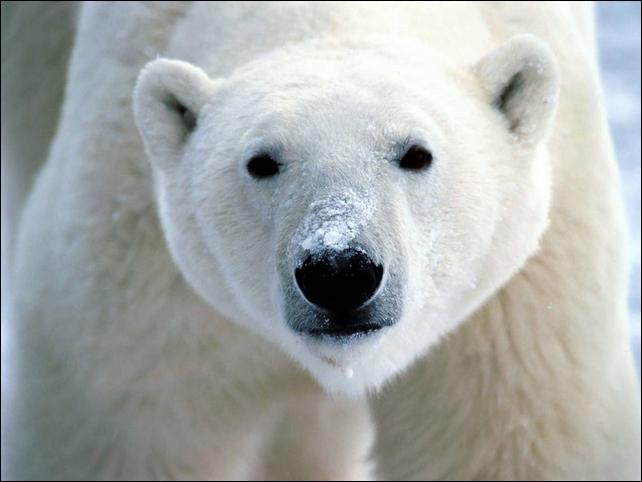Polar bear, Ursus maritimus. Photo: via boneblogger.com