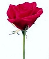 rose13a-120x140