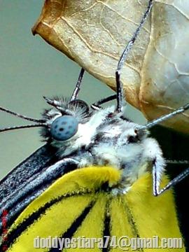 kupu-kupu bersayap kuning