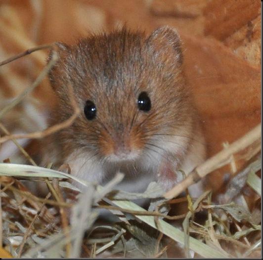 Baby Harvest Mouse (JB) DSC_0958