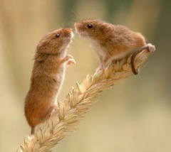 watch_harvest_mice
