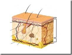 anatomia-piel-estructura 2
