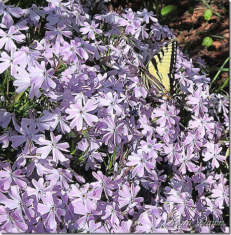 CreepingPhlox_Butterfly