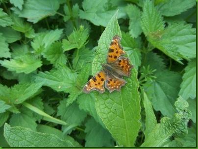 026  Comma Butterfly