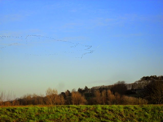 geese flying in - Blakeney