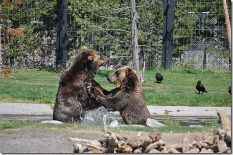 Yellowstone NP & Grizzly & Wolf Ctr 235