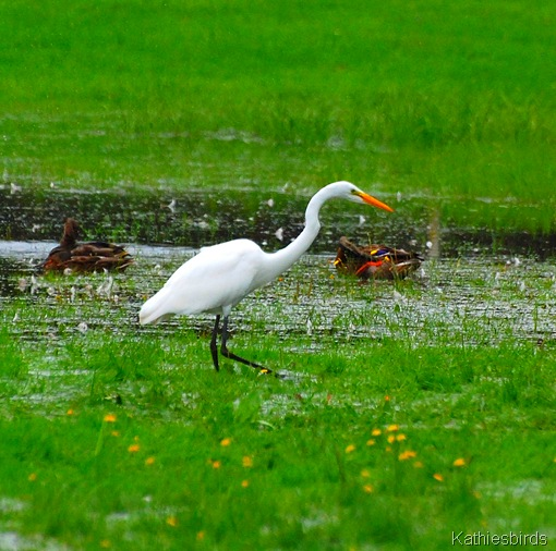 12. Great egret-kab