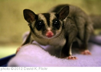 'Snowball the Mighty Sugar Glider' photo (c) 2012, David K - license: http://creativecommons.org/licenses/by-sa/2.0/