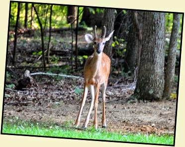 01c - Morning walk - Young Buck