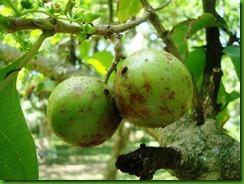 Vangueria madascariensis (3)