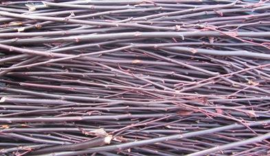 Blutpflaume Zweige