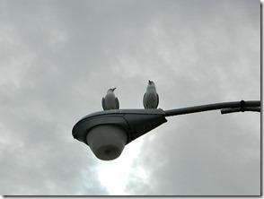 Montrose Harbour seagulls