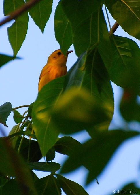 5. yellow warbler-kab