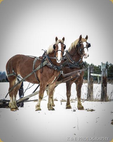 BELGIAN HORSES 2013 (4)