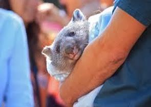 Amazing Pictures of Animals, Photo, Nature, Incredibel, Funny, Zoo, Common wombat, Vombatus ursinus, Marsupial, Mammals, Alex (3)