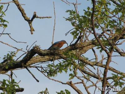 Bluebird May 19