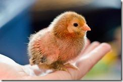 ChicksNewMay4-9151